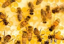 蜂蜜生产的步骤-优蜜网