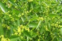 枣花蜜的功效-优蜜网