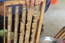 蜂王浆是怎么来的怎么产生的-优蜜网